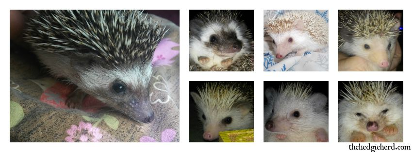 BabyHedgieColorCollage
